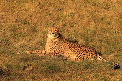 Lying cheetah cub Royalty Free Stock Photo