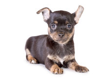 Lying chihuahua puppy Royalty Free Stock Images
