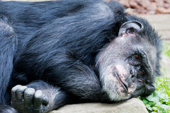 Lying chimp Royalty Free Stock Photos