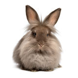 A lying chocolate colored lionhead bunny rabbit. On white background royalty free stock images