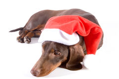 Lying christmas dachshund royalty free stock photos