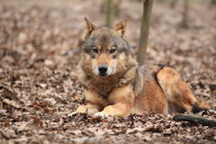 Lying common wolf Stock Photo