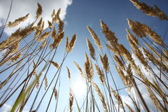 Lying in the corn Stock Photography