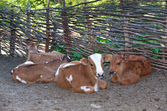 Lying cow. Cows lying in the yard of a farm Stock Photography