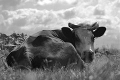 Lying cow. black and white photography stock images