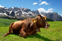 Lying cow pasture behind the mountain Brenta. Dolomites Italy Stock Photo