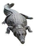 Lying Nile crocodile isolated on white background Royalty Free Stock Photos