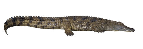 Panoramic view of wet Nile crocodile isolated on white background Royalty Free Stock Photos