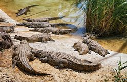 Lying crocodiles Stock Image