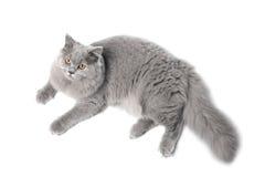 Lying cute british cat isolated Stock Image
