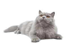 Lying cute british cat isolated Stock Photography