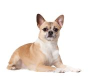 Lying cute straw-colored doggy Royalty Free Stock Photos