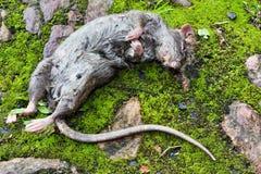 Lying dead big rat Stock Photos