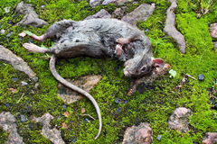 Lying dead big rat Royalty Free Stock Images