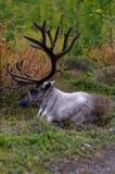 Lying deer Stock Photos
