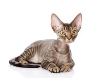 Lying devon rex cat. looking away. Royalty Free Stock Photography