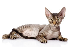 Lying devon rex cat. looking at camera. Isolated on white backgr Royalty Free Stock Image