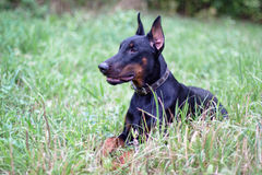 Lying doberman Stock Photo