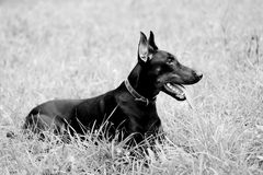 Lying doberman Royalty Free Stock Photos