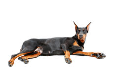 Lying doberman pinscher on isolated white Stock Images