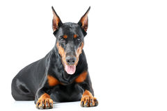 Lying dobermann pinscher on isolated background Royalty Free Stock Photography