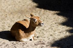 Lying doe roe deer Stock Photos