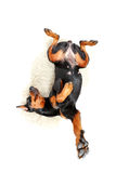 Lying dog with bended body Royalty Free Stock Photos