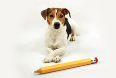 Lying dog with big yellow pencil Royalty Free Stock Images