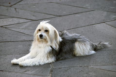 Lying dog. Catalan Sheepdog. Catalan sheepdog lying in the ground. Gos d'atura royalty free stock photos