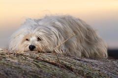 Lying Dog Royalty Free Stock Images