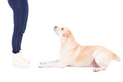 Lying dog and female legs isolated on white Stock Image