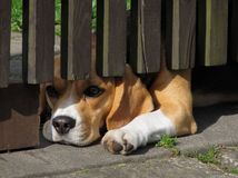 Lying dog looking under the fence Royalty Free Stock Images