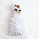 Lying dog with soother. Fun pet Royalty Free Stock Image
