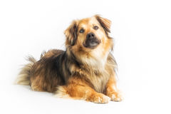 Lying dog in studio, white background Royalty Free Stock Photo