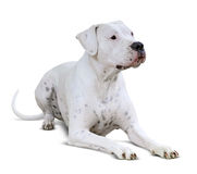 Lying  Dogo Argentino on white Royalty Free Stock Photo