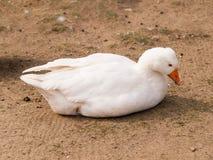 Lying domestic goose - Anser cygnoides domesticus. Domestic goose lying on backyard - Anser anser f.domesticus stock photo