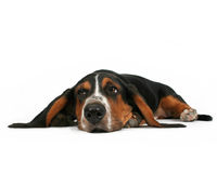 Lying down. A basset hound lying down on a white background Stock Image