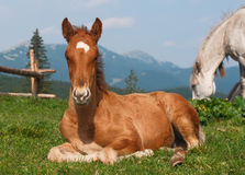 Lying Down Foal at Alpine Meadow Stock Photo