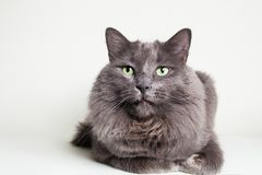 Gray Nebelung Cat Royalty Free Stock Photo
