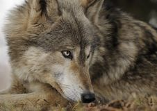 Lying Down Timber Wolf Looks Right Royalty Free Stock Photos