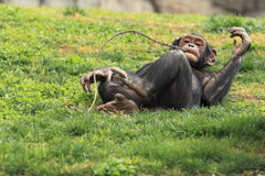 Lying Dwarf Chimpanzee Royalty Free Stock Photos