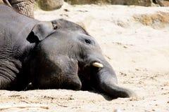 Lying elephant Stock Photo