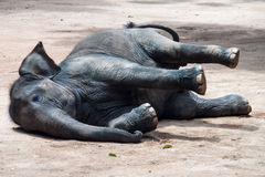 Lying elephant Royalty Free Stock Photos