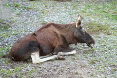 Lying elk. Brown elk without horns lying on the grass royalty free stock photos