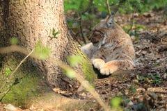 Lying eurasian lynx. The lying adult eurasian lynx at the tree Royalty Free Stock Photos