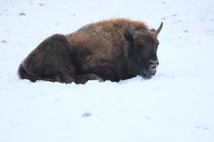 Lying european bison Royalty Free Stock Image