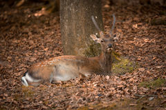 Lying Fallow Deer at autumn time, Germany Stock Photography