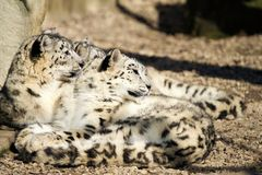 Lying family of Snow Leopard Irbis (Panthera uncia) Stock Photo
