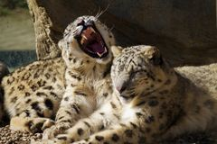 Lying family of Snow Leopard Irbis Stock Images