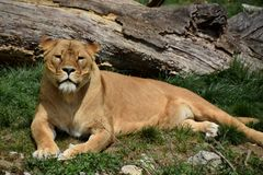 Lying female lion Royalty Free Stock Images